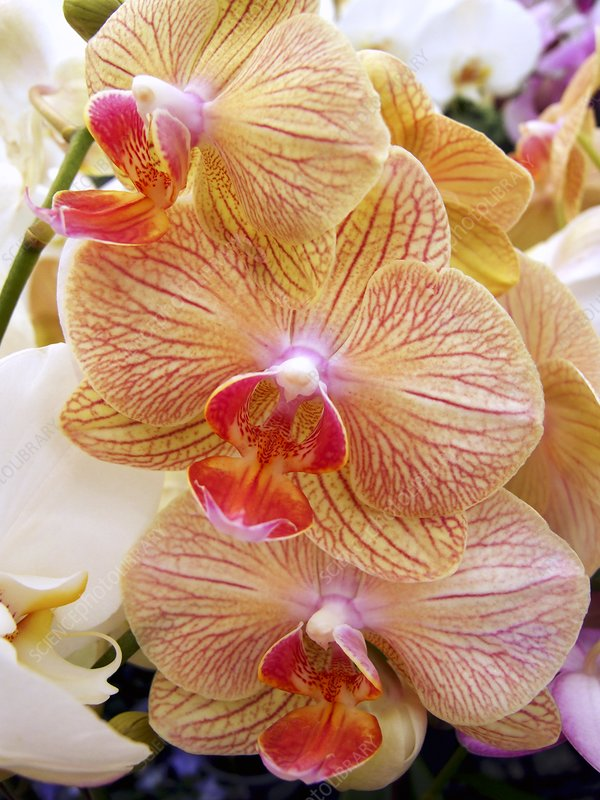 Moth orchids (Phalaenopsis sp.)