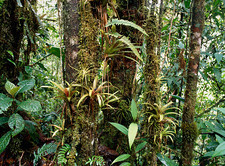 Bromeliads growing on trees in rainforest