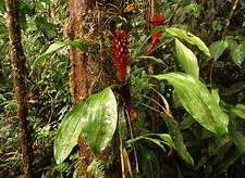 Epiphytic bromeliad plants, Pitcairnia