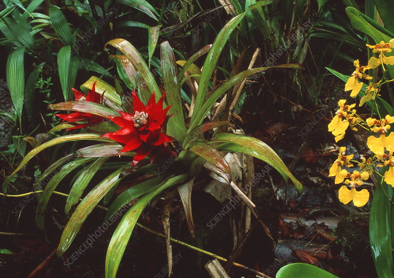 Bromeliad plant with orchid