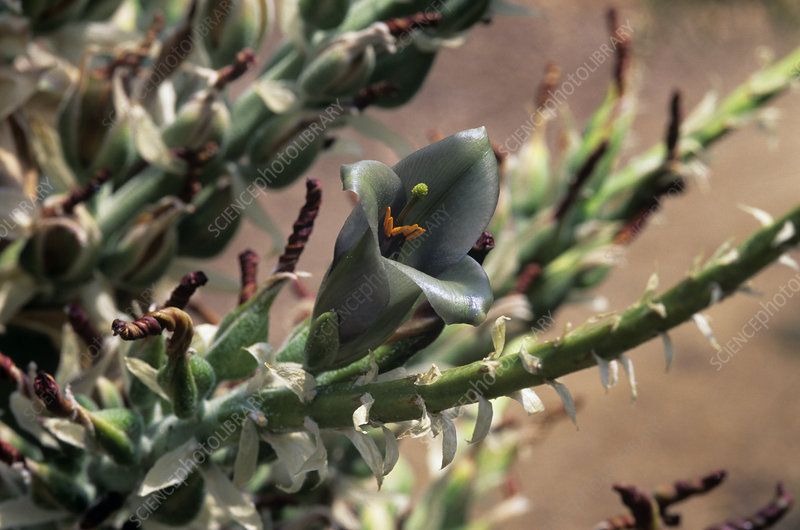 Puya sp. bromeliad flower