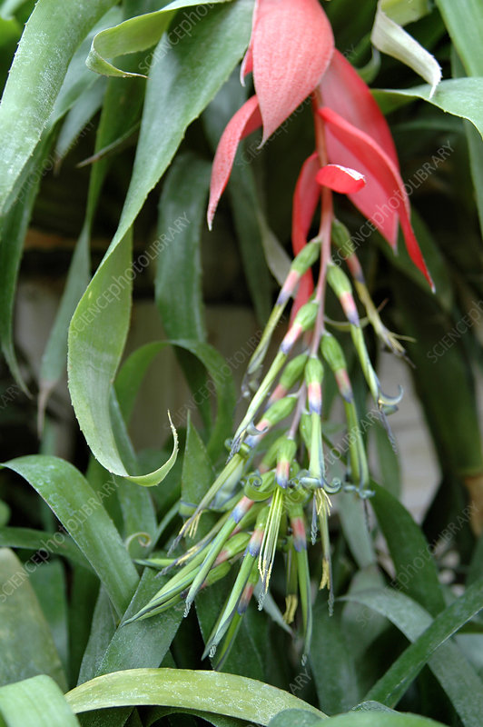 Queen's tears (Billbergia nutans)