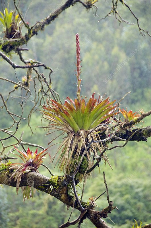 Bromeliad in flower growing on a tree