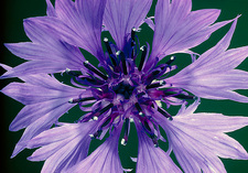 Cornflower flower from above