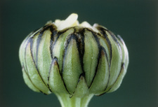 Flower bud of ox-eye daisy