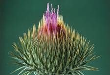 Thistle bud flowering