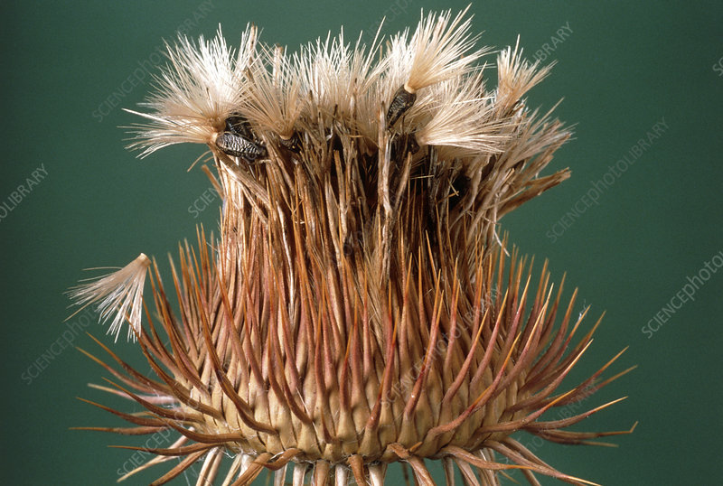 Thistle head showing seeds