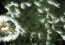 Dispersal of dandelion seed