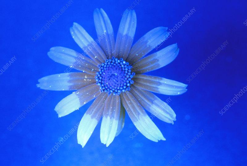 Daisy flower nectar guides (UV light)
