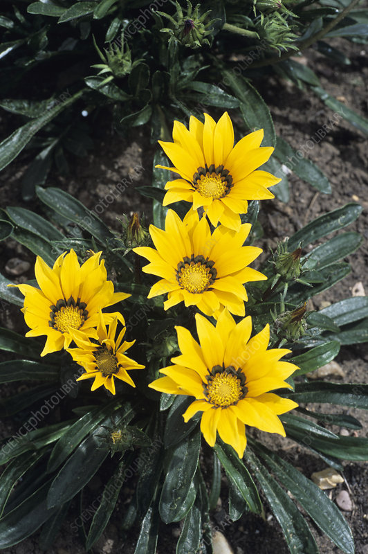 Gazania 'Splendens' flowers