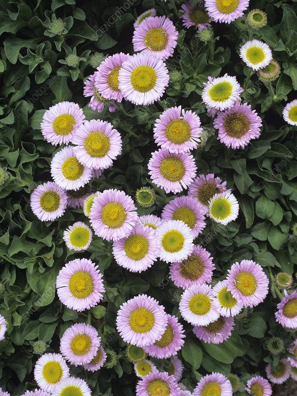 Seaside fleabane flowers
