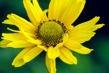Thin-leaved sunflower (Helianthus decapetalus)