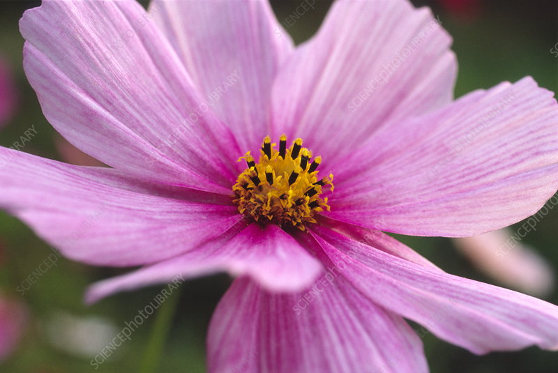 Mexican aster flower (Cosmos bipinnatus)