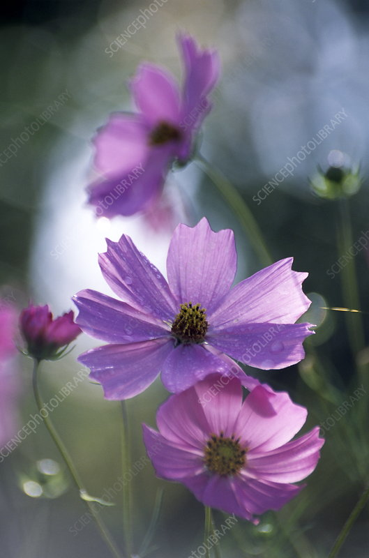 Mexican aster flowers (Cosmos bipinnatus)