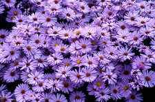 New York aster flowers (Aster sp.)
