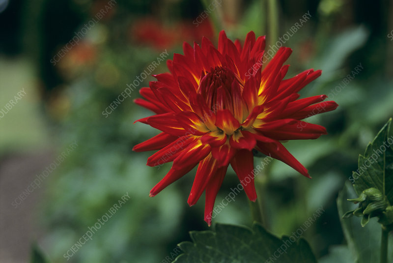 Dahlia (Dahlia 'Weston Spanish Dancer')