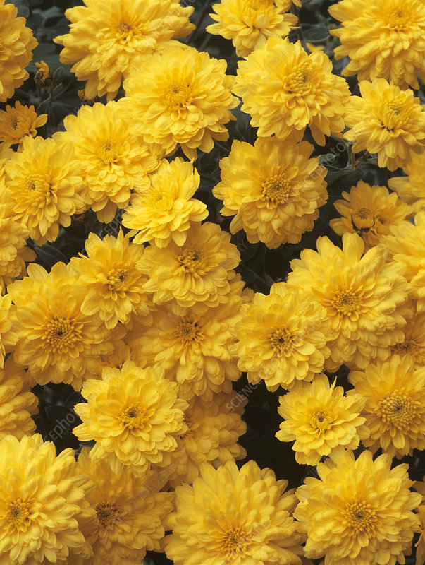 Chrysanthemum 'Constable'