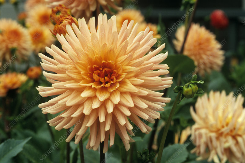 Dahlia 'Fireball' flower