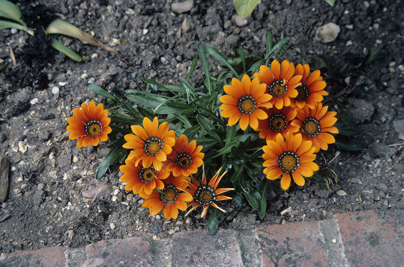 Gazania 'Orange Beauty' flowers