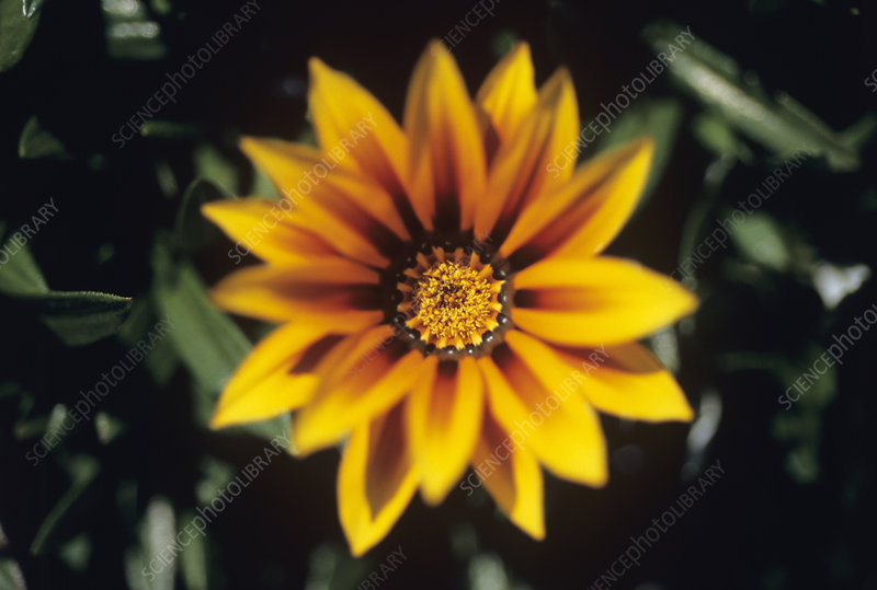 Gazania x splendons 'Magic' flower