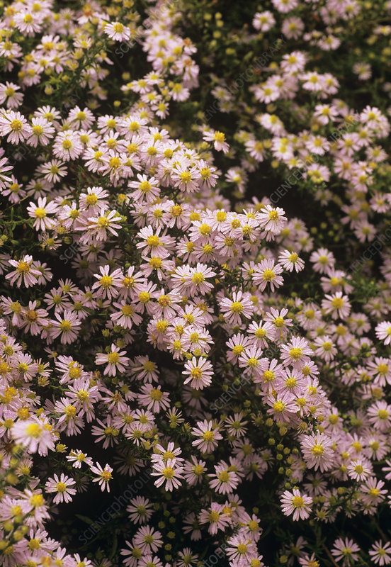 Sky blue aster flowers