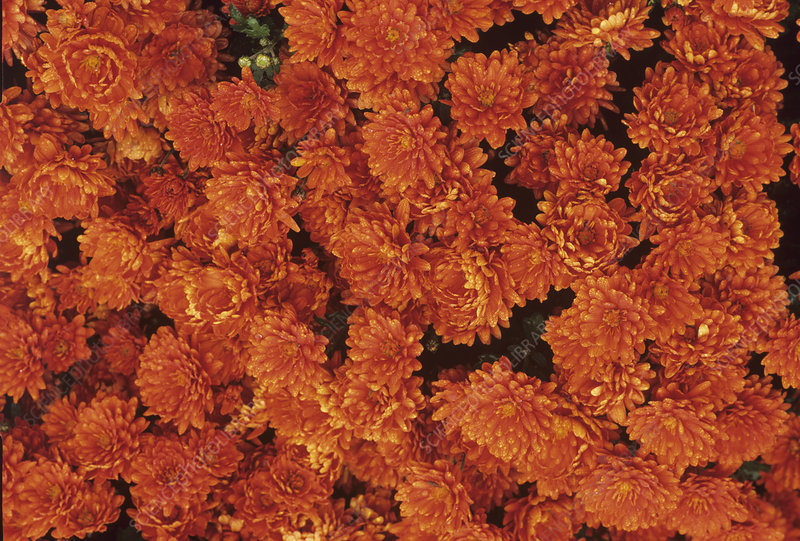 Crysanthemum 'Bold Gretchen'