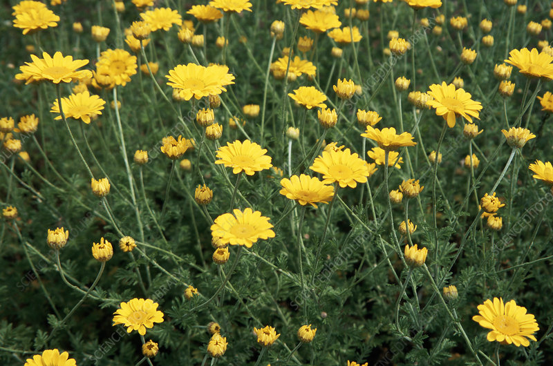 Golden marguerite (Anthemis tinctoria)