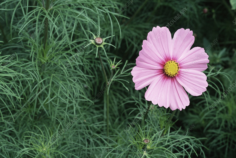 Mexican asters (Cosmos bipinnatus)