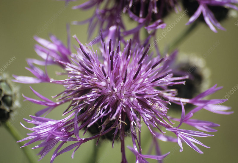 Greater knapweed flower