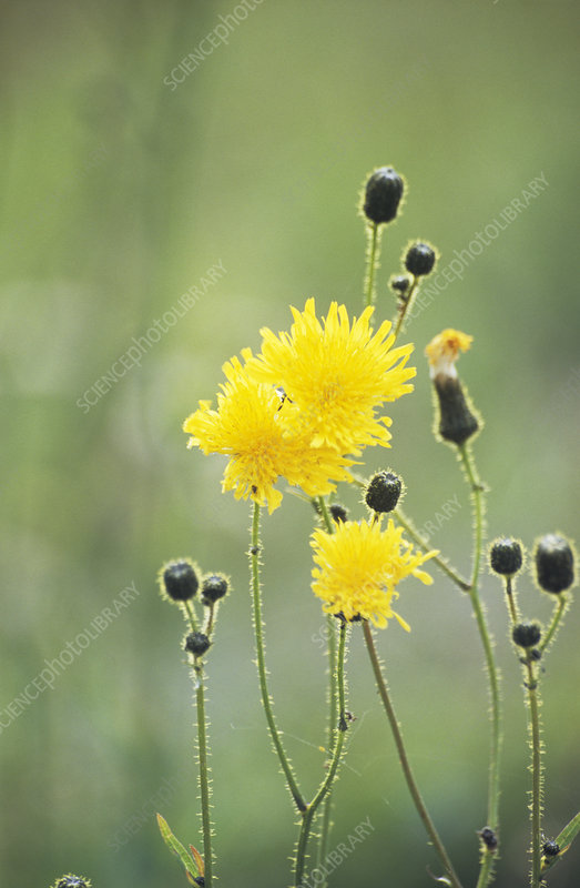 Corn-sow thistle flowers