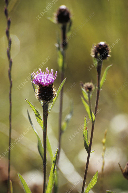 Black knapweed flower