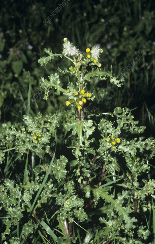 Groundsel in flower