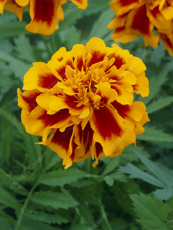 Marigold (Tagetes 'Zenith Red And Gold')