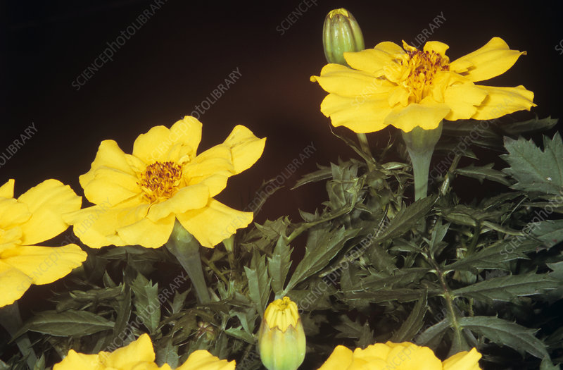 French marigold (Tagetes patula) flowers