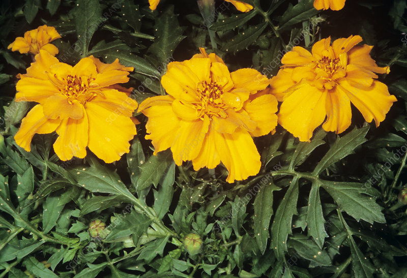 French marigold flowers (Tagetes patula)