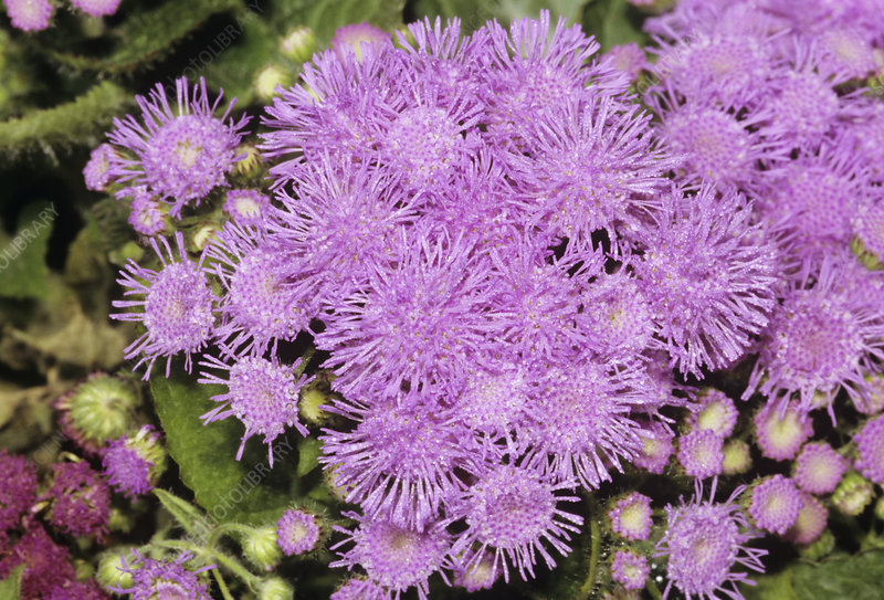external image B539387-Ageratum_mexicanum_flowers-SPL.jpg?id=665390387