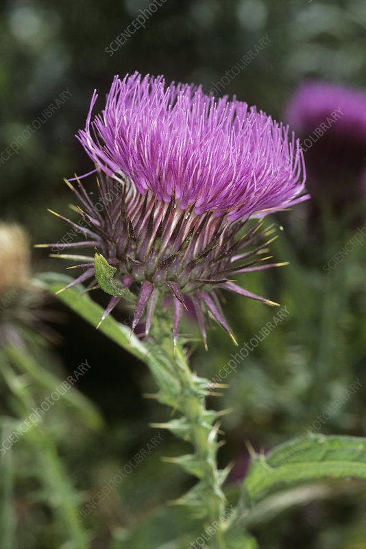 Cotton thistle