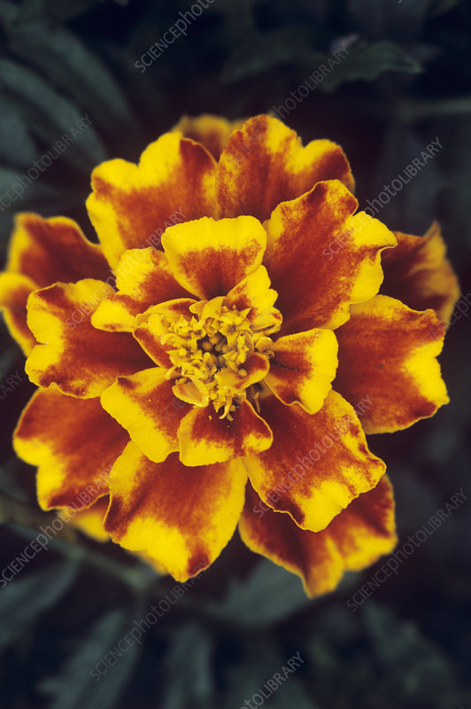 French marigold 'Red Brocade'