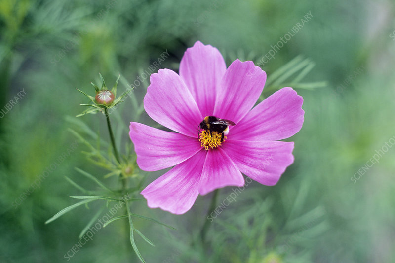 Cosmos bipinnatus with a bumble bee