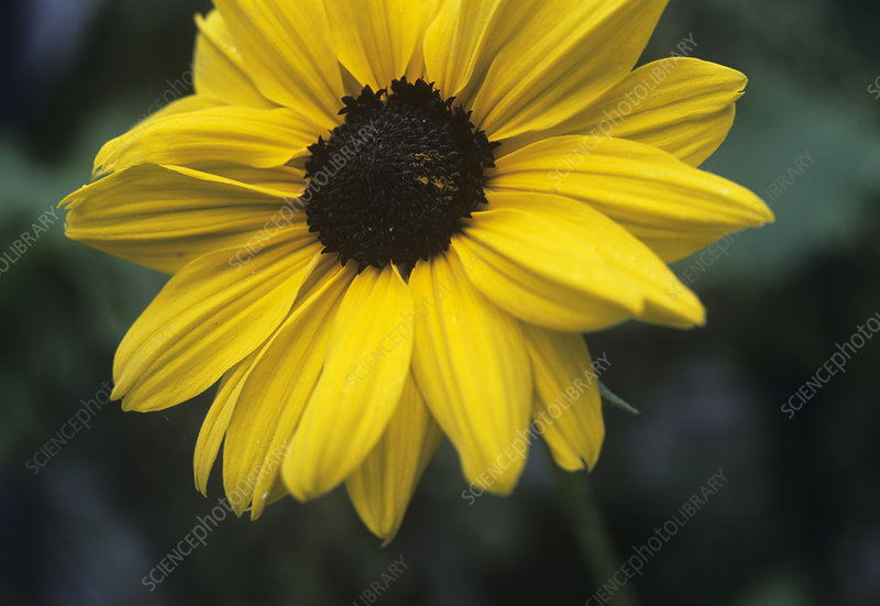 Beach sunflower (Helianthus debilis)