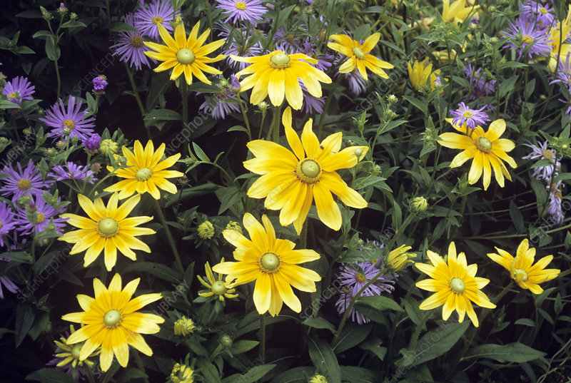 Black-eyed Susan (Rudbeckia 'Sunshine')