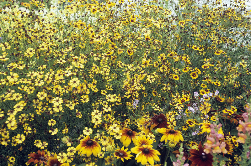 Tickseed (Coreopsis 'Seashells')