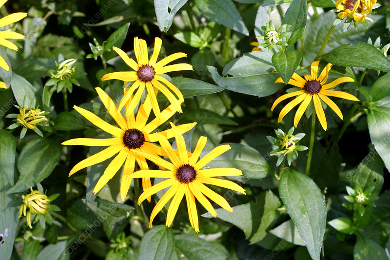 Flower (Rudbeckia fulgida) in Full Spectrum