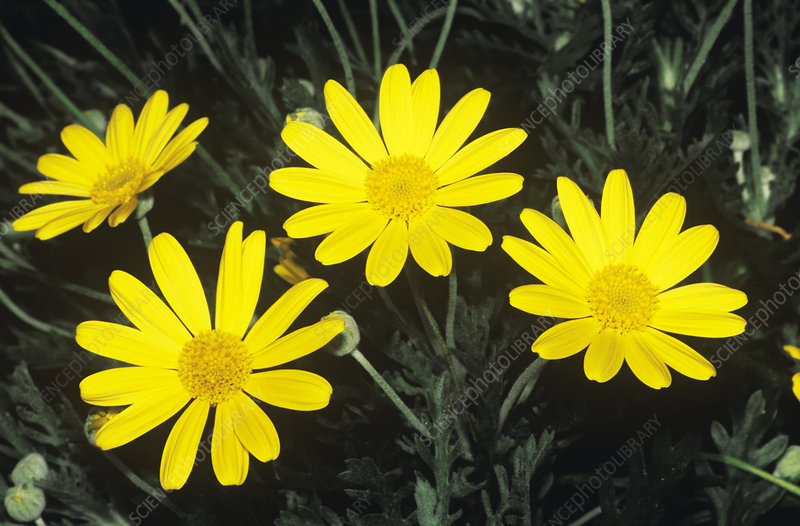 Yellow bush daisy (Euryops pectinatus)