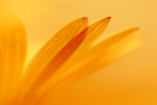 Marigold petals, close-up