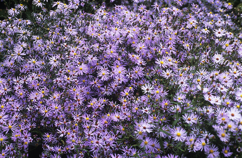 Aster flowers (Aster turbinellus)