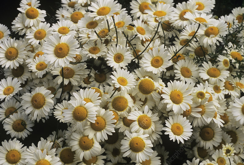 Anthemis 'Susanna Mitchell'