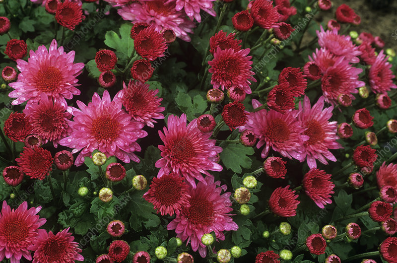 Chrysanthemum 'Nina'