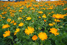 Field of Calendula officinalis flowers