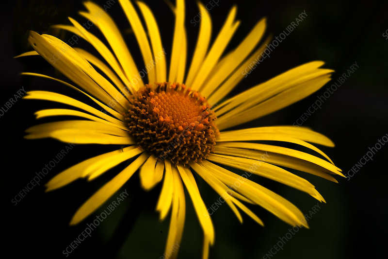 Yellow daisy (Chrysanthemum multicaule)